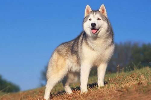 chó husky 2 màu mắt giá bao nhiêu