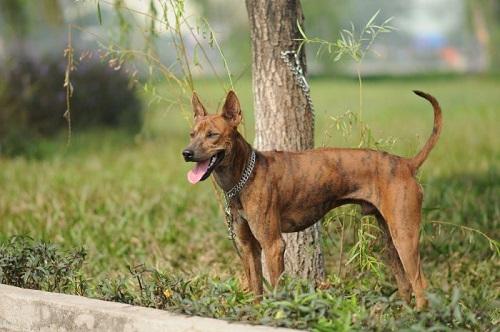 trại chó phú quốc quận 12