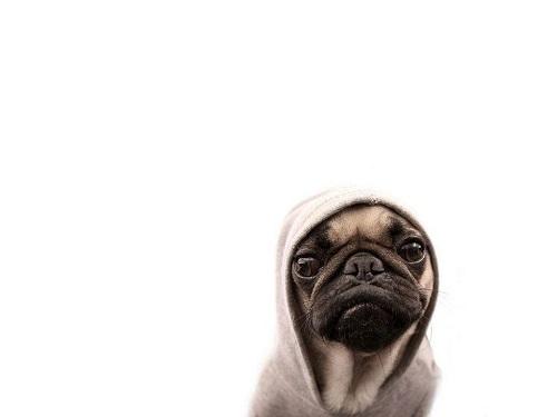 chó pug dog