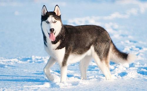 chó alaska husky