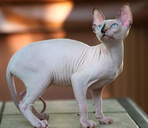 mèo ai cập xăm