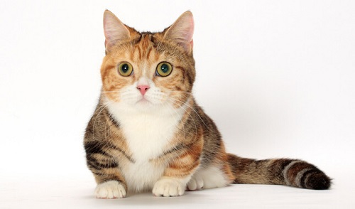 mèo munchkin hcm