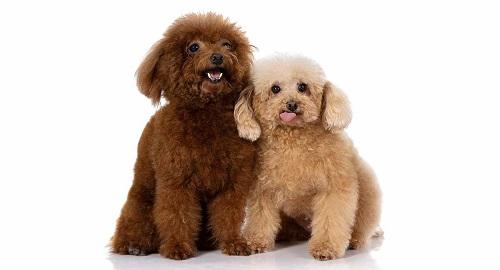 Chó Poodle Miniature
