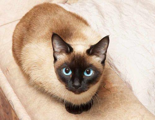 bán mèo xiêm