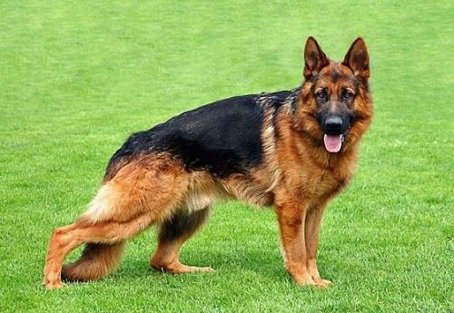 đặt tên cho chó becgie