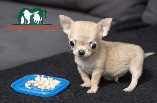 chó chihuahua thích ăn gì