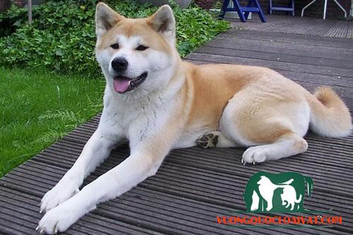 bán chó akita 600 nghìn 1 con