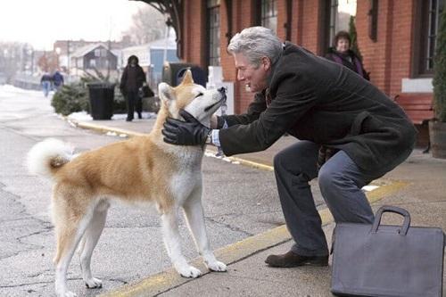bán chó akita tại hà nội