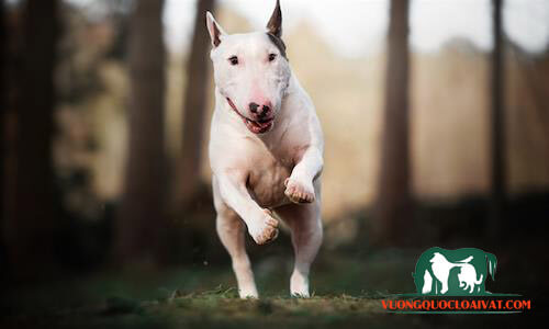 bán chó bull terrier tphcm