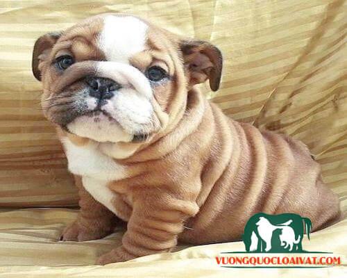 chó bulldog giá bao nhiêu