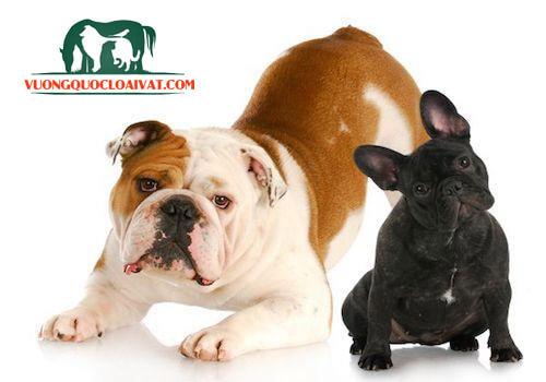bán chó bulldog tại tphcm
