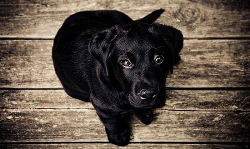 cún con màu đen