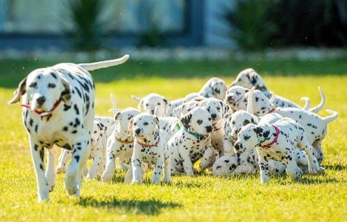 Chó Đốm Dalmatian giá bao nhiêu tiền? Mua, Bán ở đâu rẻ nhất