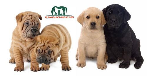 chó English Mastiff