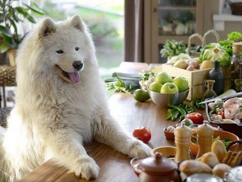 chó american eskimo ăn gì