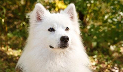 chó eskimo giá bao nhiêu