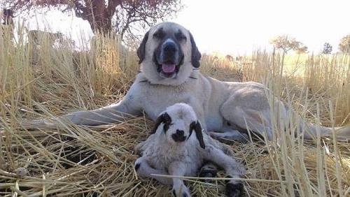 chó kangal vs pitbull