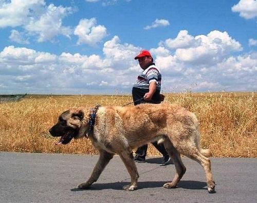chó kangal giá bao nhiêu