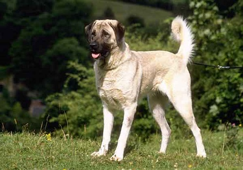 nguồn gốc chó kangal
