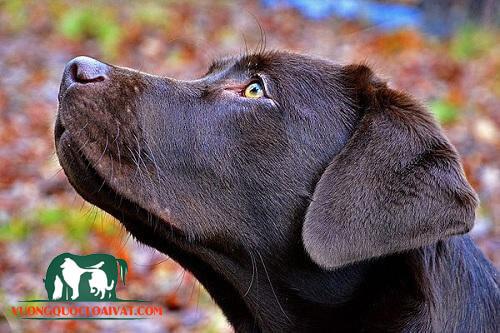 chó labrador đen