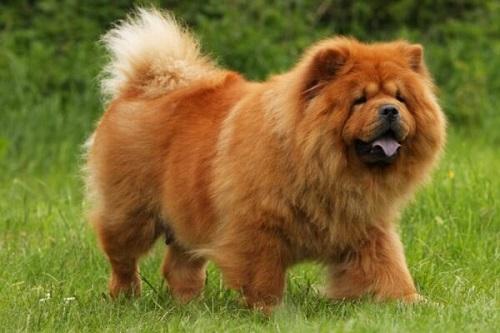 Chó Ngao Tây Tạng Loài Dũng Mãnh Trung Thành Của Vùng Thảo Nguyên