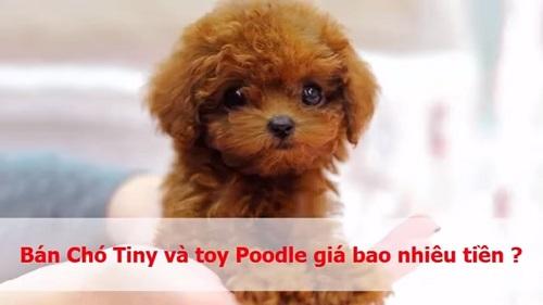 chó poodle con giá bao nhiêu