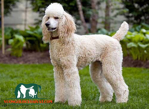chó poodle giá 1 triệu