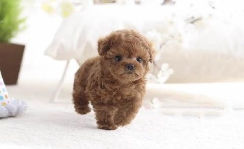 Môi trường sống của chó Poodle Tiny