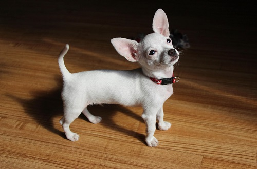 Chó Teacup Chihuahua