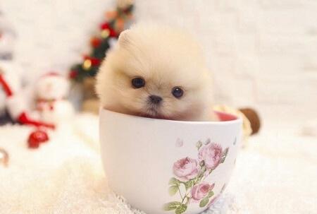 chó teacup trưởng thành