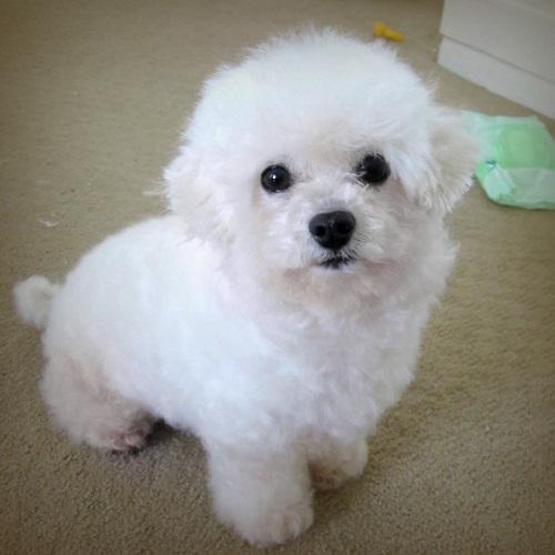 giống chó tiny poodle