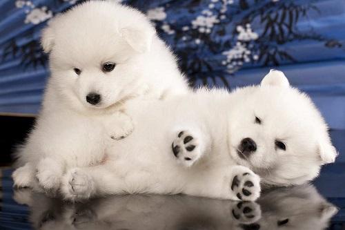 bán chó eskimo