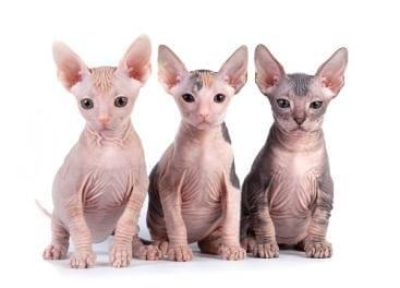 mèo không lông giá bao nhiêu