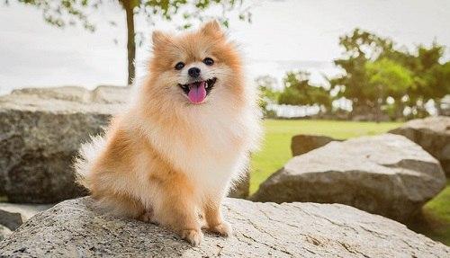giống Chó Pomeranian có dễ nuôi không