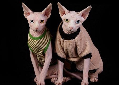 giống mèo không rụng lông