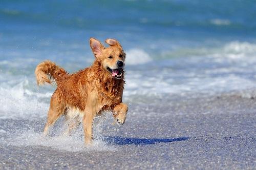 mua chó golden retriever tphcm