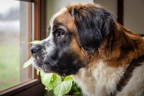 Thời điểm lý tưởng để huấn luyện chó ngao Anh