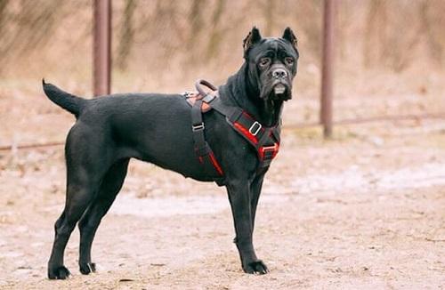 kinh nghiệm huấn luyện chó cane corso