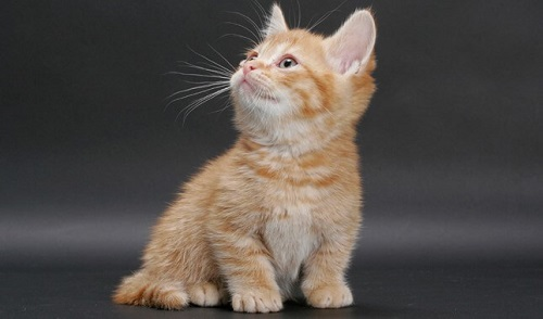chăm sóc sức khỏe dinh dưỡng mèo munchkin