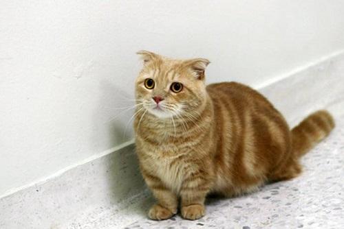 mua mèo munchkin