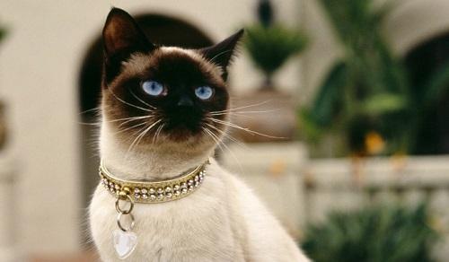 mèo xiêm giá bao nhiêu