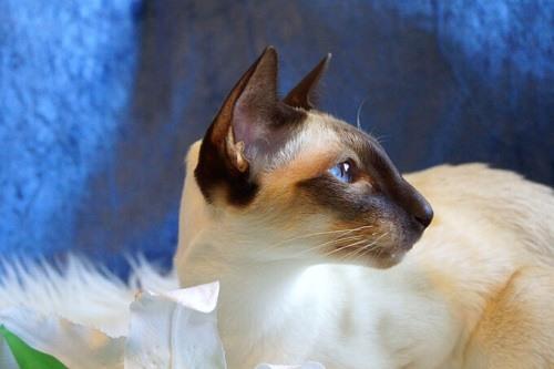 phòng bệnh cho mèo xiêm thái lan