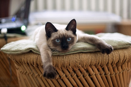 mèo xiêm hcm