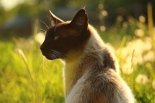mèo xiêm lai
