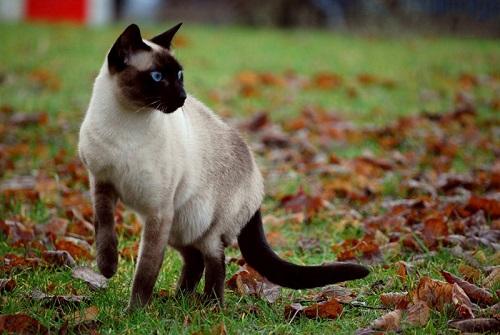 mèo xiêm thái