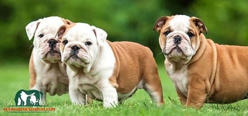 chó bulldog pháp tính khí