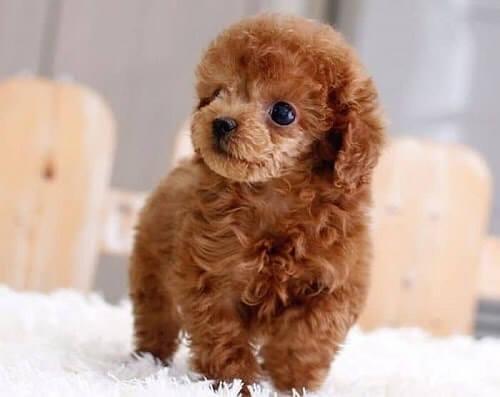 mua chó poodle size tiny