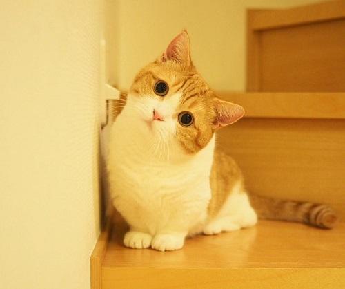 mèo munchkin giá rẻ