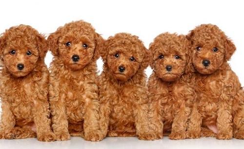 đặt tên cho chó poodle đực