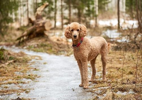 Chó Poodle Standard